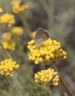 helichrysum_corsica__small